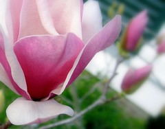 Japanese Magnolia - by Mr. Greenjeans
