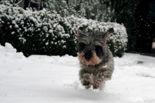 Der Wauwi scheint der Schnee nicht zu kümmern ;) (c)_dominic/flickr.com