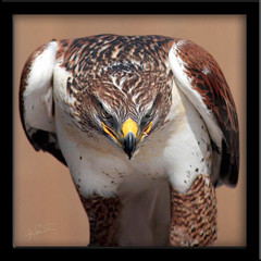 Ferruginous Hawk--Stare down (ajschroetlin) Tags: nature animals top20np colorado top20nature top20hallfame animalplanet hawks ferruginoushawk parkstock featheryfriday ajschroetlin rmrp specanimal animalkingdomelite