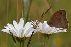 Ochsenauge (svensonkra26) Tags: wiese falter insekt schmetterling ochsenauge tagfalter