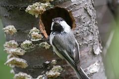 Black-capped Chickadee (Laura Erickson) Tags: minnesota birds places species blackcappedchickadee nesting stlouiscounty passeriformes paridae peabodystreet