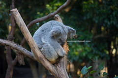 SLEEPING KOALA (autrant) Tags: animal sydney australia koala koalaparksanctuary voigtlanderapolanthar90mmf35sl nikond750