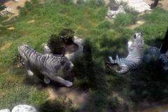 3 (Nezahualcyotl) Tags: parque en del de pareja pueblo el neza una zoolgico blancos tigres municipio alberga nezahualcoyotl albergan neza