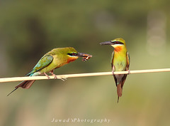 Darling Lunch For You (Jawad_Ahmad) Tags: blue light summer green bird nature water beautiful beauty birds lunch natural time wildlife bee tailed eater naturelover sialkot birdsphotography