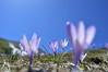 Fiori al mattino - Crochi - Majella - Abruzzo - Italy