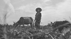 prospect (soumik_itmam) Tags: cow farmer