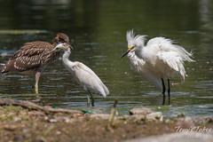 Juvenile Heron bullies juvenile Egret
