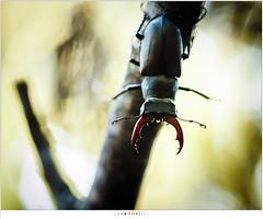 Vliegend Hert (nandOOnline) Tags: nederland natuur insekt dier limburg kever lucanuscervus gewei jabeek holleweg vliegendhert hertkever grootvliegendhert