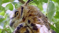 Great Horned Owls (Jim Mullhaupt) Tags: summer wallpaper lake tree bird nature water landscape utah pond nikon flickr outdoor background wildlife saratogasprings p900 swamp owl coolpix greathornedowl utahlake mullhaupt nikoncoolpixp900 coolpixp900 nikonp900 jimmullhaupt