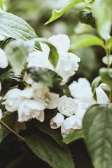 Jasmín (minu_minu) Tags: flower nature blossom jasmine jessamine