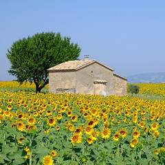 Orientée plein soleil **---+O (Titole) Tags: tournesol sunflower many tree house squareformat titole nicolefaton provence explored herowinner thechallengefactory friendlychallenges challengegamewinner 15challengeswinner challengeyouwinner cyunanimous gamex2