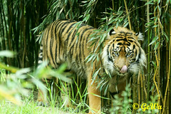 Sumatra Tiger Tebo (Geralds-Raubtiere) Tags: sumatratiger zooheidelberg flickrbigcats