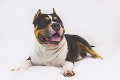 King (Cruzin Canines Photography) Tags: animal animals canon canonrebelt2i canine dog dogs domestic domesticanimal king pit pitbull pitbullterrier americanpitbullterrier indoors studio portrait closeup smile cute handsome boy male mammal color