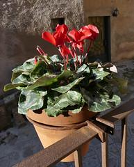 MACETA (Joan Biarnés) Tags: mura bages manresa 211 panasonicfz1000 flor