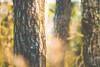 Stämme (Sascha Wolf) Tags: stamm baum lichtstimmung farbe natur outdoor schärfeverlauf
