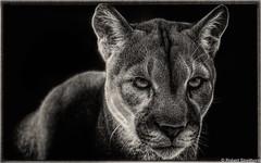 Go Ahead, Make my Day (Robert Streithorst) Tags: cincinnatizoo robertstreithorst zoosofnorthamerica puma cougar big cat