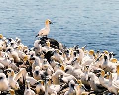 birds at st. mary's ecological reserve (-liyen-) Tags: birds gannets stmarysecologicalreserve newfoundland canada summer atlanticocean explore challengeyouwinner