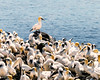 birds at st. mary's ecological reserve (-liyen-) Tags: birds gannets stmarysecologicalreserve newfoundland canada summer atlanticocean explore challengeyouwinner