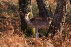 I see you too (sviet73) Tags: france morvan animal daim forêt hiver nature
