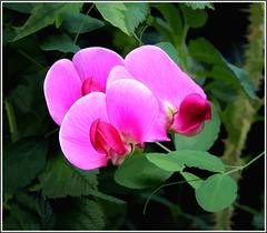 sweet pea (vernon.hyde) Tags: sweetpea lathyrusodoratus pinksweetpea sweetpeacloseup