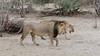 Löwen / Lions (brainstorm1984) Tags: big5 lioness boteti safari löwen makgadikgadi desertdeltasafaris lion pantheraleo botswana wildlife löwin wildfelinephotography leroolatau botetiriver makgadikgadipansnationalpark makgadikgadipansgamereserve löwe lions bigfive northwestdistrict botsuana bw