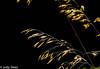 Grasses (judy dean) Tags: judydean 2016 sonya6000 light seeds