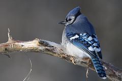 Geai bleu / Blue jay (Sylvain Prince) Tags: cyanocittacristata