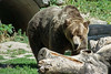 Grizzly Bear (jed52400) Tags: torontozoo toronto ontario canada grizzlybear