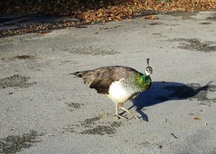 Stepping out in style (JulieK (ready for another 365 challenge)) Tags: peahen bird fauna johnstowncastle wing hww wexford ireland irish shadow canonixus170 peacock