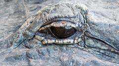 Oeil alligator (boisvertvert1) Tags: alligator animaux ef300mmf4lisusm canon canon70d canoneos70d eos wildlife parc park everglades evergladesnationalpark parcnationaldeseverglades floride florida faune fauna usa michelboisvert oeil eye