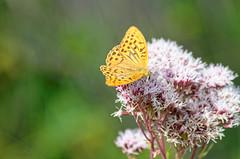 Tabac d'Espagne (Joseph Trojani) Tags: papillon butterfly fleur flower macro nikon d7000 tabacdespagne insect insecte orange nymphales nymphalidae nymphalinae argynnispaphia