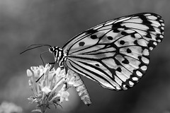 Just a butterfly (BorisWorkshop) Tags: butterfly animals kaohsiung nature insect black white flower