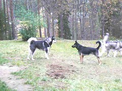the leader of the pack (jondewi52) Tags: animal alaskan malamute colour colours german gsd dog forest nature outdoors shepherd tree trees wood woods outdoor
