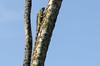 DSC_6651_LR (CharlieBro) Tags: 2016 centroamerica costarica tortuguero agosto animal animale august estate iguana reptile rettile summer wild