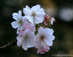 The first half of life consists of the capacity to enjoy without the chance.... (itucker, thanks for 2.7+ million views!) Tags: prunus cherry blossom cherryblossom macro bokeh dukegardens autumnalis autumnhigancherry