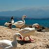 Cretan Geese (pom.angers) Tags: canoneos400ddigital 2010 july crete greece mediterraneansea goose geese bird