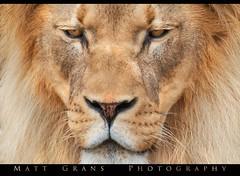 Eye to Eye (Matt Grans Photography) Tags: lion face feline animal critter mane eyes wildlife workshop zoo sanfrancisco california intimate closeup whiskers