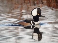 Ready for the ladies (tresed47) Tags: 2017 201701jan 20170104bombayhookbirds birds bombayhook canon7d content delaware ducks folder hoodedmerganser merganser peterscamera petersphotos places takenby us ngc npc