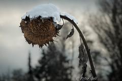Winter sunflower (Peter Goll thx for +11.000.000 views) Tags: dechsendorf erlangen schnee winter germany sonnenblume sunflower weiher pond nikon nikkor d800