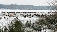 Wasservögel am Dechsendorfer Weiher 2 (Peter Goll thx for +11.000.000 views) Tags: 2017 dechsendorf erlangen franconian franken schnee winter snow germany bird vogel frankonia eis ice weiher pond lake