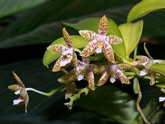 Phalaenopsis (Eerika Schulz) Tags: phalaenopsis hannover herrenhausen berggarten herrenhäuser gärten garten eerika schulz