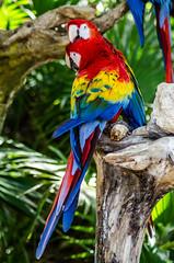 (zombie brain for tea) Tags: parrot parrots aves birds colorful nature guacamayo guacamayos