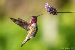 Anna's Hummingbird (Bob Gunderson) Tags: annashummingbird birds california calypteanna fortmason hummingbirds northerncalifornia sanfrancisco coth ngc npc