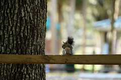 DSC08336.jpg (joe.spandrusyszyn) Tags: sciuruscarolinensis treesquirrel orlando squirrel mammal sciurus florida sciuridae unitedstatesofamerica easterngraysquirrel rodent magnoliapark lakeapopka nature animal vertebrate rodentia