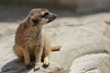 Erdmännchen in Mondo Verde Landgraaf (Ulli J.) Tags: zoo niederlande nederland netherlands paysbas nederlandene limburg landgraaf mondoverde wereldtuinen erdmännchen meerkat suricate surikate stokstaartje surikat