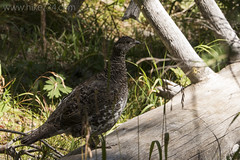 "Dusky Grouse • <a style=""font-size:0.8em;"" href=""http://www.flickr.com/photos/63501323@N07/32294834182/"" target=""_blank"">View on Flickr</a>"