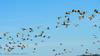 Paynes Prairie State Park La Chua Trail Sandhill Crane flocks 01-10-2016 (Jerry's Wild Life) Tags: alachua alachuacounty crane craneflocks cranes florida gainesville paynesprairie paynesprairiestatepark sandhill sandhillcrane sandhillcraneflock sandhillcraneflocks sandhillcranes sandhills