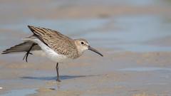 Dunlin stretch (Noah Frade) Tags: bird birding birdphotography beach nature wildlife shorebird bunchebeach lee dunlin calidrisalpina canoneos7dmarkii canonef400mmf56lusm