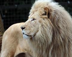 african lion Credo Ouwehands JN6A9355 (j.a.kok) Tags: leeuw lion credo afrikaanseleeuw africanlion witteleeuw whitelion pantheraleoleo ouwehands ouwehandsdierenpark ouwehandszoo kat cat mammal africa afrika zoogdier predator