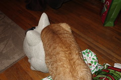 Ziggy Cat - Christmas Eve Play 12-24-16 07 (anothertom) Tags: cats ziggycat gingercat christmaseve play funnycat 2016 sonyrx100ii